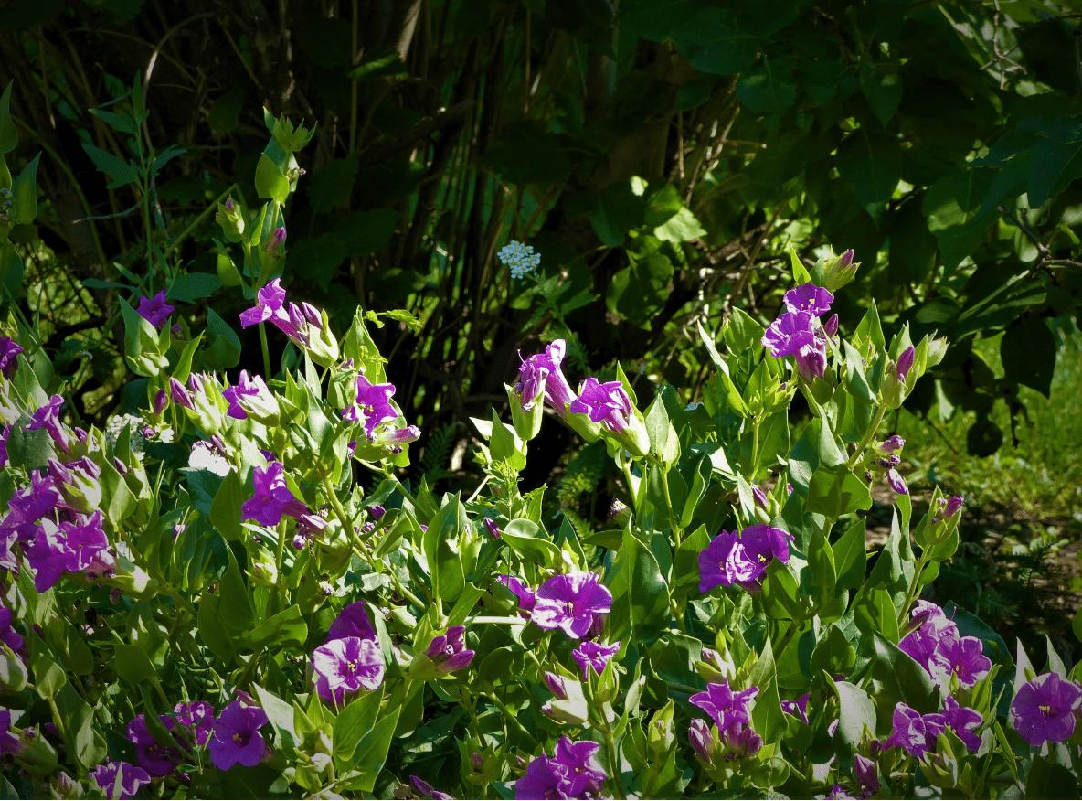 Miriabilis Multiflora